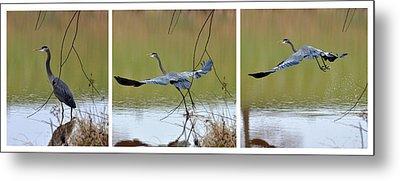 Great Blue Heron Takes Flight - T9535-7h  Metal Print by Paul Lyndon Phillips