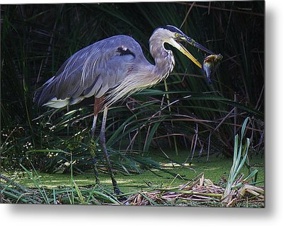 Great Blue Heron With The Catch Of The Day Metal Print by Paulette Thomas
