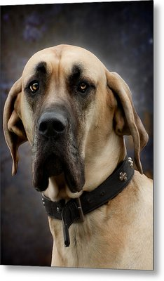 Metal Print featuring the photograph Great Dane Dog Portrait by Ethiriel  Photography