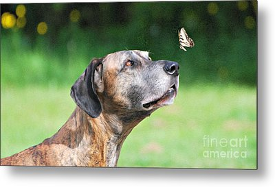 Great Dane Rufus Dagoofus With Butterfly Metal Print