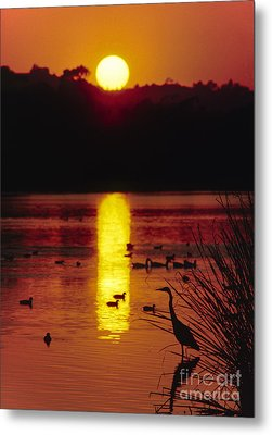 Metal Print featuring the photograph Great Egret - Santa Barbara Bird Refuge by Craig Lovell