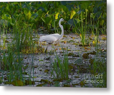 Great Egret 2 Metal Print by September  Stone