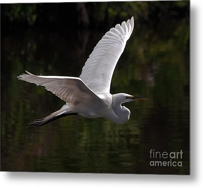 Great Egret Flying Metal Print by Art Whitton