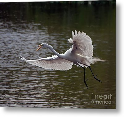 Great Egret In Flight Metal Print by Art Whitton