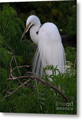 Great Egret Nesting Metal Print by Art Whitton