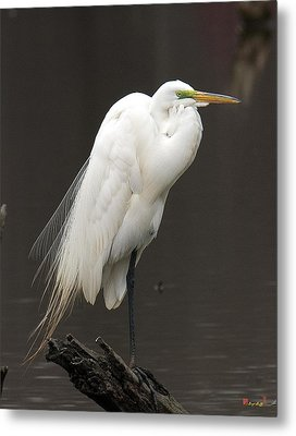 Great Egret Resting Dmsb0036 Metal Print by Gerry Gantt