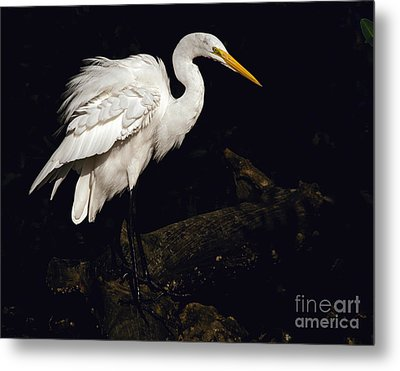 Great Egret Ruffles His Feathers Metal Print by Art Whitton