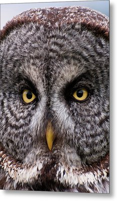 Great Gray Owl Metal Print by Chad Graham