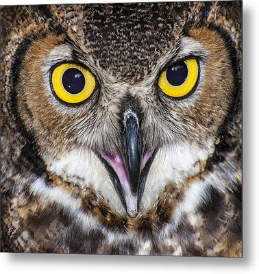 Great Horned Owl Close Up Metal Print by Ray Downs