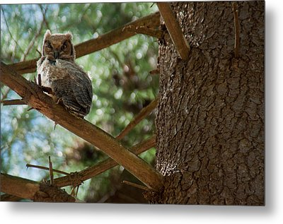 Great Horned Owlet Metal Print