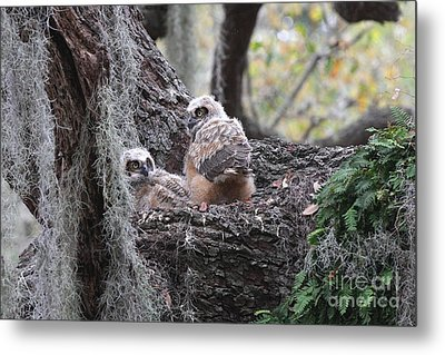 Great Horned Owlets Metal Print by Jennifer Zelik