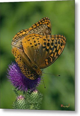 Great Spangled Fritillaries On Thistle Din108 Metal Print by Gerry Gantt