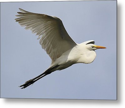 Great White Egret At The Beach Metal Print by Paulette Thomas