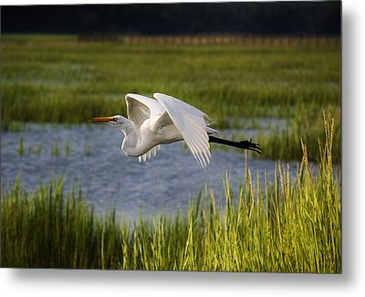 Great White Egret Flying Through The Marsh Metal Print by Paulette Thomas
