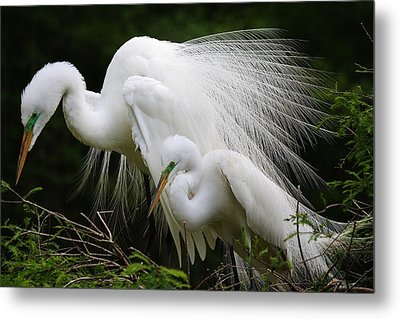 Great White Egret Mates Metal Print by Paulette Thomas