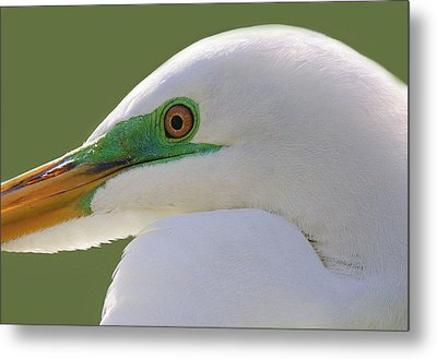 Great White Egret Up Close And Personal Metal Print by Paulette Thomas