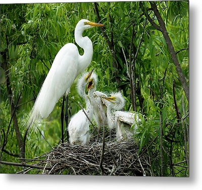 Great White Egret With Babies Metal Print by Paulette Thomas