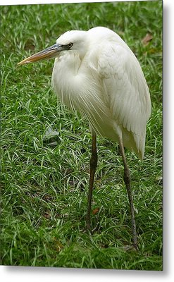 Metal Print featuring the photograph Great White Heron by Myrna Bradshaw