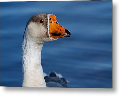 Metal Print featuring the photograph Greater-white Fronted Goose by Ann Murphy