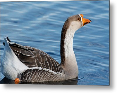 Greater White-fronted Goose Paddling Away Metal Print by Ann Murphy