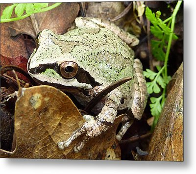 Metal Print featuring the photograph Green And Brown Frog by Cindy Wright