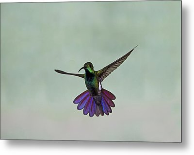 Green-breasted Mango Hummingbird Metal Print by David Tipling