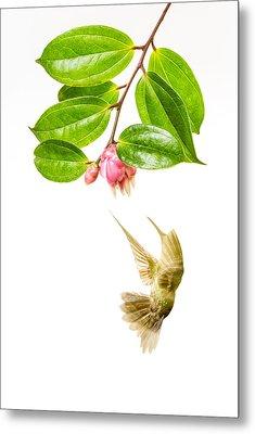 Green Crowned Brilliant Hummingbird Metal Print by Hali Sowle