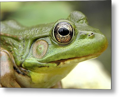 Green Frog Metal Print by Griffin Harris