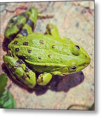 Green Frog Sitting On Stone Metal Print by Matthias Hauser