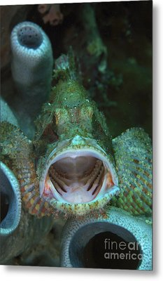 Green Grouper With Open Mouth, North Metal Print by Mathieu Meur