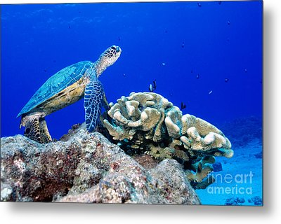 Green Sea Turtle Metal Print by Andrew G Wood and Photo Researchers