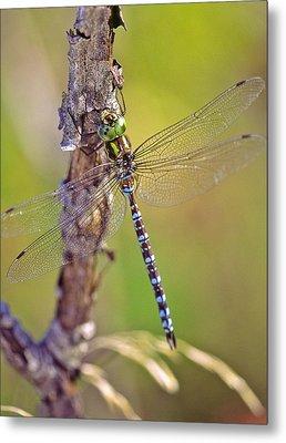 Green-striped Darner Dragonfly Metal Print