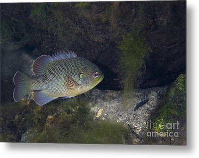 Green Sunfish Swimming Along The Rocky Metal Print by Michael Wood