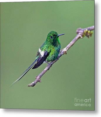 Green Thorntail Metal Print by Jean-Luc Baron