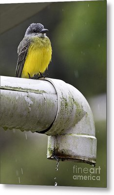Grey-capped Flycatcher Metal Print by Heiko Koehrer-Wagner