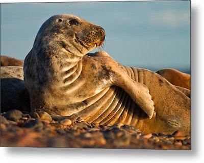 Grey Seal Halichoerus Grypus Watching Metal Print
