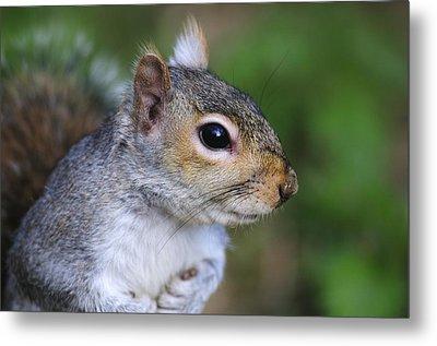 Grey Squirrel Metal Print by Colin Varndell