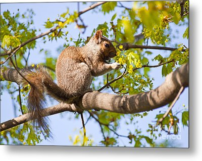 Metal Print featuring the photograph Grey Squirrel Feedingtime by Christine Amstutz