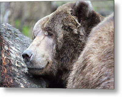 Metal Print featuring the photograph Grizzley - 0014 by S and S Photo