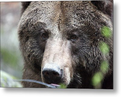 Metal Print featuring the photograph Grizzley - 0018 by S and S Photo