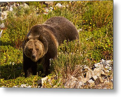 Grizzly 1 Metal Print