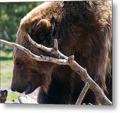 Grizzly Bear Metal Print
