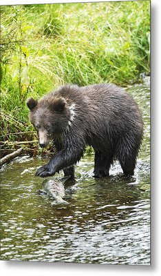 Grizzly Cub Catching Fish In Fish Creek Metal Print by Richard Wear
