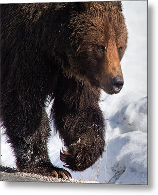 Metal Print featuring the photograph Grizzly On Snow by J L Woody Wooden