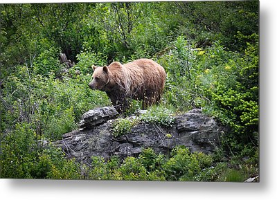 Metal Print featuring the photograph Grizzly by Ronda Broatch