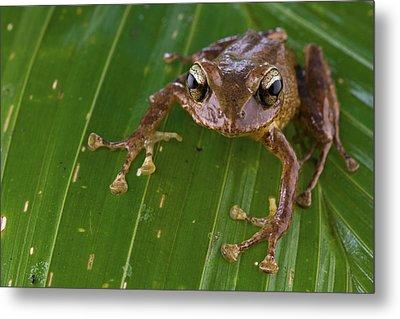 Ground Frog Nakanai Mts Papua New Guinea Metal Print by Piotr Naskrecki