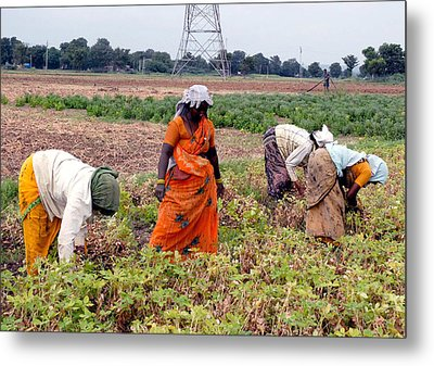 Groundnut Picking By Women Metal Print by Johnson Moya