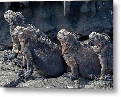 Group Of Marine Iguana Lying On Rock Metal Print by Sami Sarkis