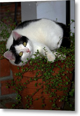 Growing A Kitten Metal Print by Skip Willits