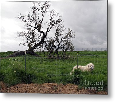 Metal Print featuring the photograph Guarding The Sheep by Leslie Hunziker